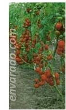 La planta del tomate es una de la principales hortalizas que se cosechan